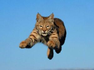 gato_pulando2
